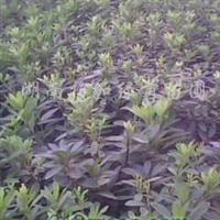 供应红叶石楠、杜鹃、红继木、金森女贞、广玉兰