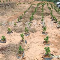 供应藤盆榕树苗