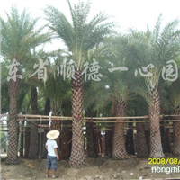 供应中东海枣