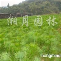 供应油茶苗、马尾松苗、杉树苗、红豆杉苗