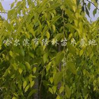 供应金叶垂榆、金叶榆、艳福莱木、银中杨
