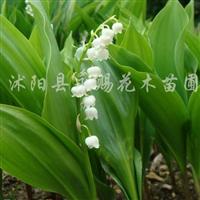 供应铃兰花、铃兰球根、铃兰种球、耐阴花卉