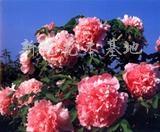 供应国色天香之牡丹花(少女裙)牡丹种子牡丹苗