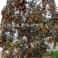 供应金桔橘果树