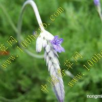 供应各种薰衣草盆景、种苗