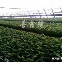 供应红掌盆花