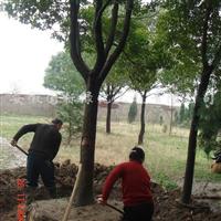 供应香樟、法桐、国槐、滦树、合欢、等绿化苗木
