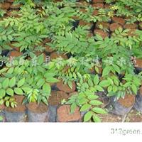 供应海南黄花梨树苗