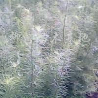 供应红松、樟子松、云杉、黑松