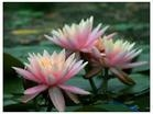 供应水生花卉碗莲、睡莲、荷花