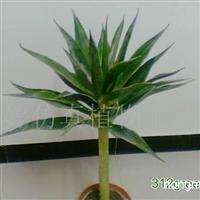供应仿真树(龙舌兰1)