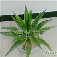 供应仿真植物(龙舌兰2)