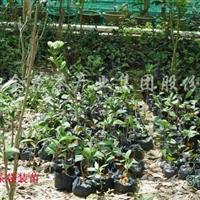 供应金花茶种苗与盆景