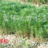 出售湿地松、马尾松、木菏