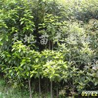 出售2-5公分金桂苗木