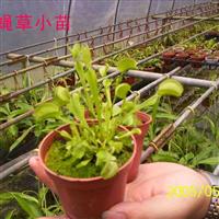 供应捕蝇草