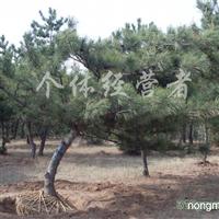 供应绿化油松