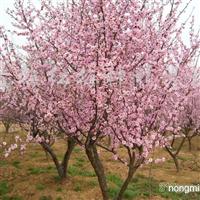 出售红梅梅花树