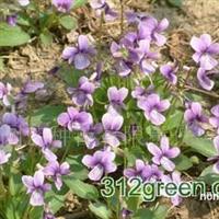 供应紫花地丁