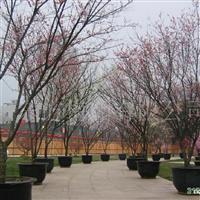 供应各类各品种梅树盆景
