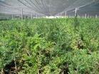 供应东北红豆杉、天女木兰、红枫
