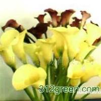 供应黄色马蹄莲