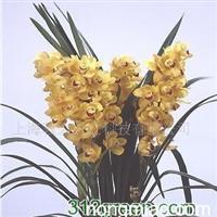 供应2007大花蕙兰开花种苗品种