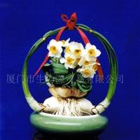 供应漳州水仙花