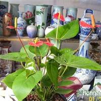 供应红掌花卉
