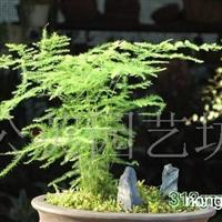 供应文竹盆景