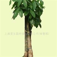 供应三杆发财树