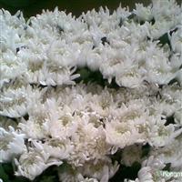 供应白菊、黄菊