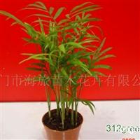 供应袖珍椰子小盆栽