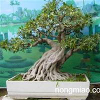 批售多花水仙花、仙人球、盆景、虎尾兰