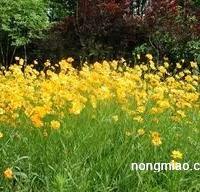 供应大花金鸡菊