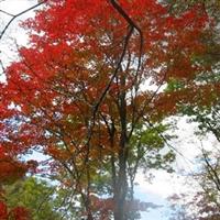 销售大规格东北红枫(鸡爪槭)、香花槐、红豆杉