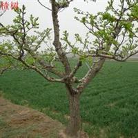 各规格占地李树、山楂树、苹果树