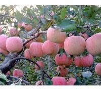 苹果苗,神富一号苹果苗,烟富王