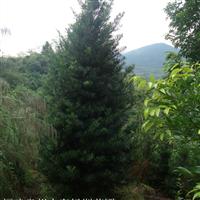 厦门罗汉松种植,漳州罗汉松种苗