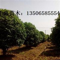 浙江桂花 1-40公分桂花供应