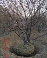 供应山桃树、供应丛生山桃树