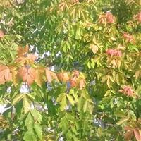 红叶复叶槭小苗接穗