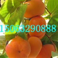 富有柿子苗,柿子树基地专业培育