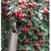 产地山西山楂树、3-20公分山楂树苗圃直销