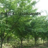 鸡爪槭图片 浙江鸡爪槭供应生产