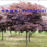 红枫供应 3-30公分浙江红枫