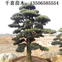 罗汉松苗木 造型浙江罗汉松供应