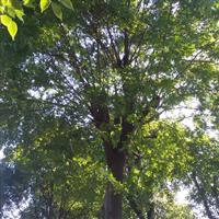 供应全冠朴树移栽朴树全冠朴树