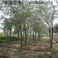 合欢树造价 供应较新浙江合欢树