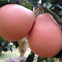 三红蜜柚苗供应